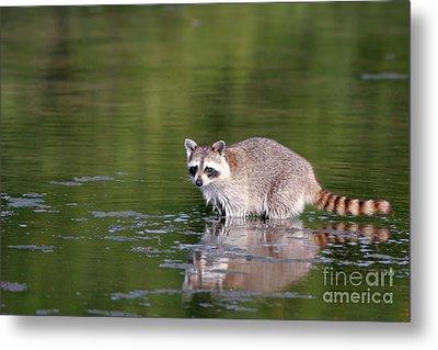 Baby Raccoon In Green Water Metal Print by Martha Marks