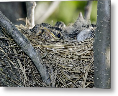Metal Print featuring the photograph Baby Robins 2 by David Lester