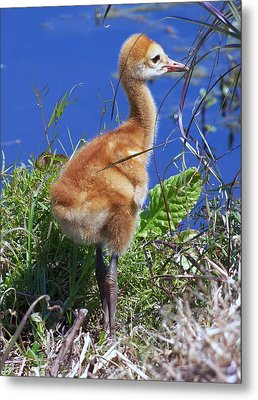 Metal Print featuring the photograph Baby Sandhill Crane 064  by Chris Mercer