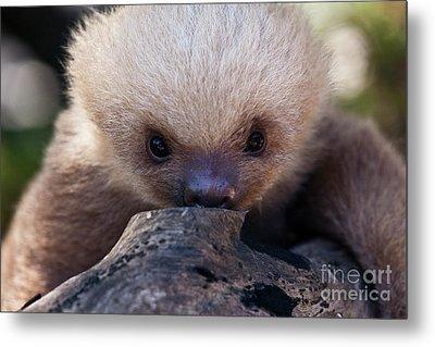 Baby Sloth 2 Metal Print by Heiko Koehrer-Wagner