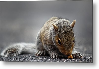 Baby Squirrel Gets A Snack Metal Print