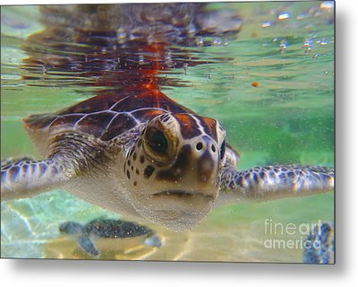 Baby Turtle Metal Print by Carey Chen