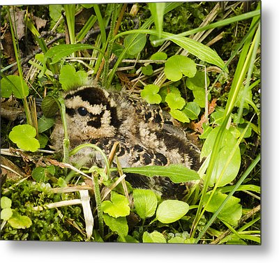 Baby Woodcock Metal Print