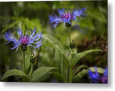 Bachelor Buttons - Flowers Metal Print by Belinda Greb