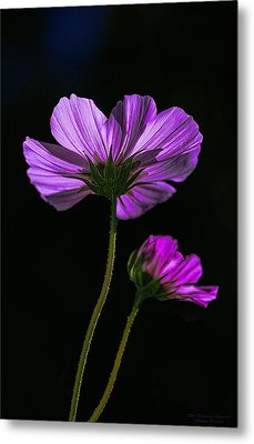 Backlit Blossoms Metal Print by Marty Saccone