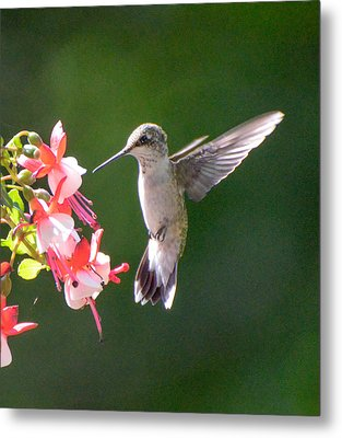 Backlit Fuchsia And Hummer Metal Print by Amy Porter