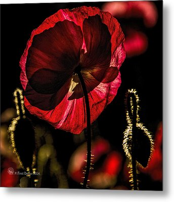Backlit Poppy Metal Print