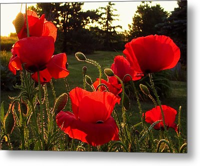Backlit Red Poppies Metal Print by Mary Wolf