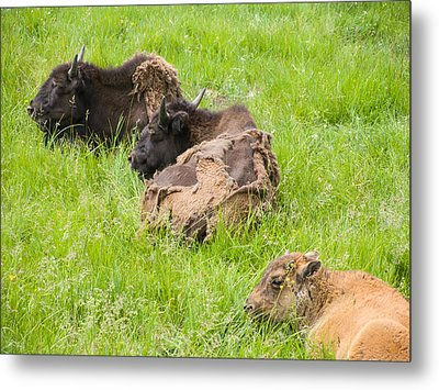 Bison Bad Fur Day Metal Print