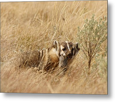 Metal Print featuring the photograph Badger With Prey by Jeremy Farnsworth