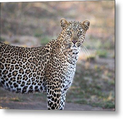 Bahati The Leopard In The Masai Mara Metal Print