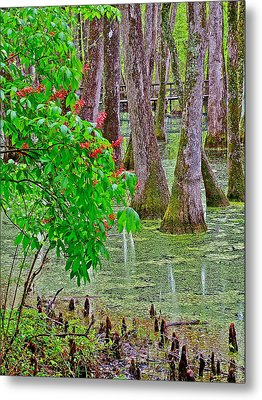 Bald Cypress And Red Buckeye Tree At Mile 122 Of Natchez Trace Parkway-mississippi Metal Print by Ruth Hager