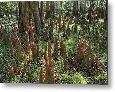 Bald Cypress Knees In Congaree National Park Metal Print by Pierre Leclerc Photography