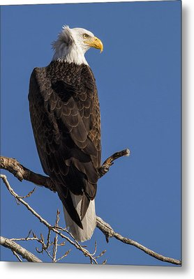 Metal Print featuring the photograph Bald Eagle 1 by Rob Graham