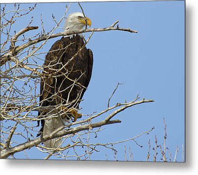 Bald Eagle And Branches 2 Metal Print