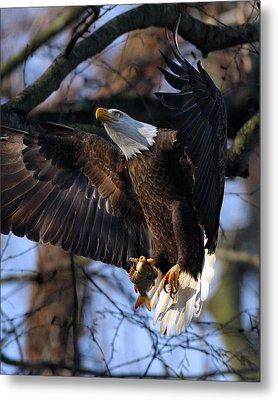 Bald Eagle Metal Print by Angel Cher