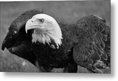 Bald Eagle Black And White Metal Print by Dan Sproul