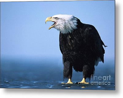 Bald Eagle Calling Metal Print by Yva Momatiuk John Eastcott