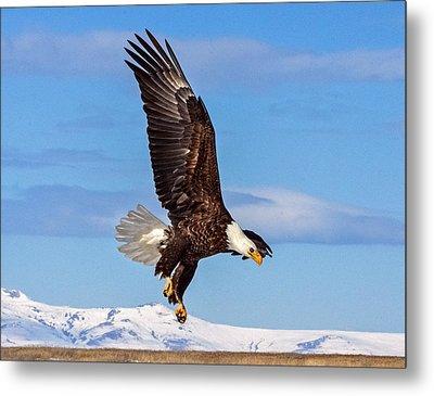 Bald Eagle Comming Down Metal Print