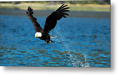 Metal Print featuring the photograph Bald Eagle Fishing by Don Schwartz