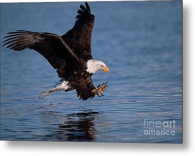 Bald Eagle Fishing Kenai Peninsula Metal Print by Yva Momatiuk John Eastcott