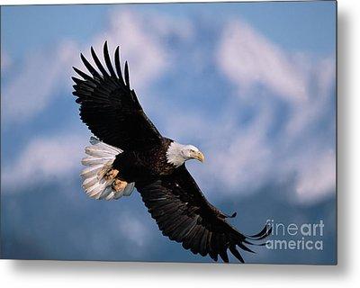 Bald Eagle Flying Kachemak Bay Metal Print by Yva Momatiuk John Eastcott