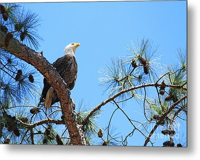 Bald Eagle Metal Print by Geraldine DeBoer