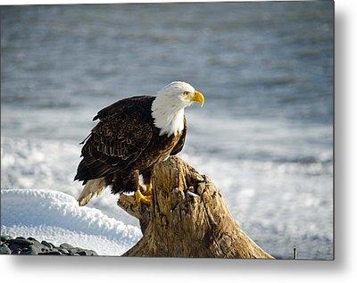 Bald Eagle Homer Spit Alaska Metal Print