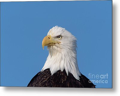 Bald Eagle In Alaska Metal Print by Yva Momatiuk John Eastcott
