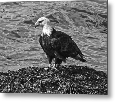 Metal Print featuring the photograph Bald Eagle In Black And White by Timothy Latta