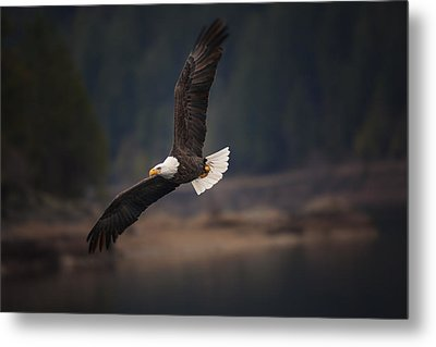 Bald Eagle In Flight Metal Print by Mark Kiver