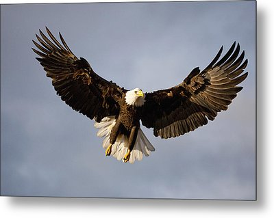 Bald Eagle In Flight Over Homer Spit Metal Print by Kent Fredriksson