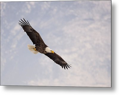 Metal Print featuring the photograph Bald Eagle In Full Extension by Jeremy Farnsworth