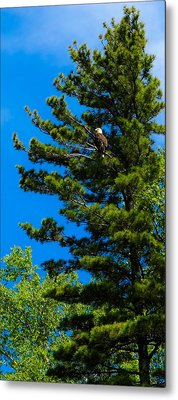 Metal Print featuring the photograph Bald Eagle   by Lars Lentz