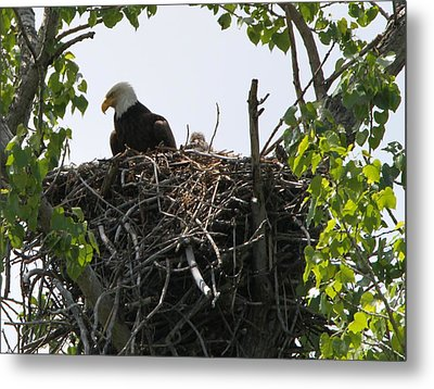 Bald Eagle Nesting Metal Print by Dan Sproul