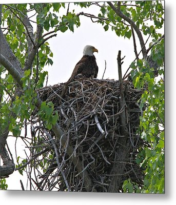 Bald Eagle On Nest Metal Print by Dan Sproul