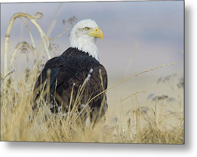 Bald Eagle On The Ground Metal Print by Ken Archer