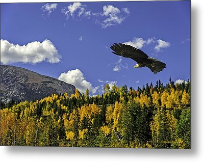 Bald Eagle Over The Aspen Metal Print