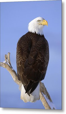 Bald Eagle Perched On Tree Branch Homer Metal Print by Don Pitcher