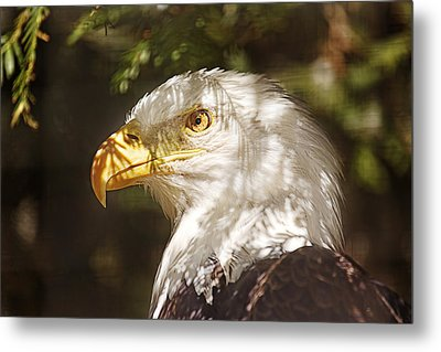 Metal Print featuring the photograph Bald Eagle Portrait  by Brian Cross