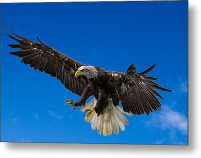 Bald Eagle Metal Print by Scott Carruthers