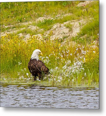 Bald Eagle  Metal Print by Trace Kittrell