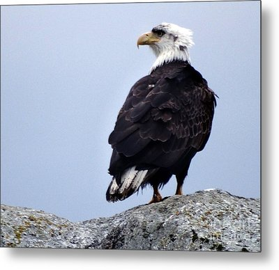 Bald Eagle Watching Metal Print by Gena Weiser