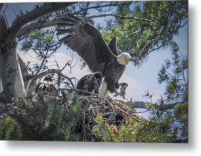 Bald Eagle With Eaglets And Fish Metal Print by Everet Regal