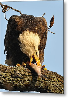 Bald Eagle With Fish 2 Metal Print by Angel Cher