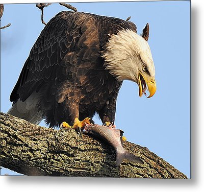 Bald Eagle With Fish Metal Print by Angel Cher