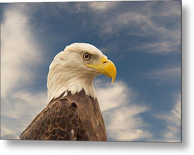 Bald Eagle With Piercing Eyes 1 Metal Print