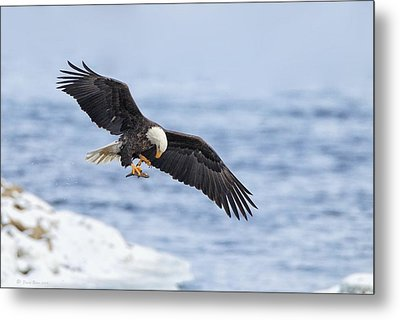 Bald Eagle With Prey Metal Print by Daniel Behm