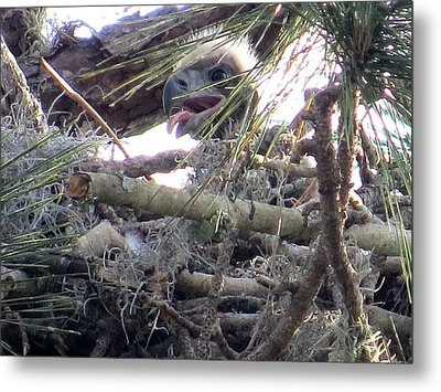 Bald Eagles Chick Metal Print by Zina Stromberg