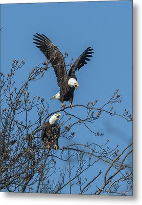 Bald Eagles Screaming Drb169 Metal Print by Gerry Gantt